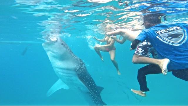 セブ島オスロブでジンベイザメと泳ぐツアー