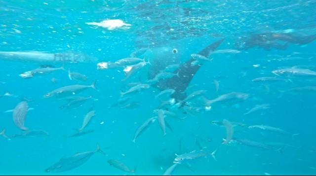 シュノーケリングしながらジンベイザメと泳げるツアー