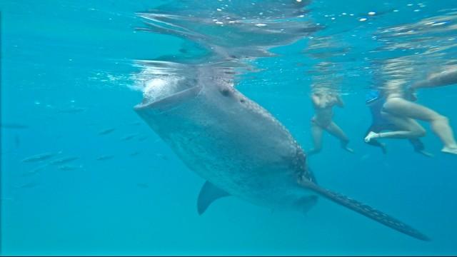 フィリピンセブ島のオスロブでジンベイザメと泳ぐ
