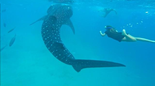 セブ島のオスロブでジンベイザメと泳ぐツアー水中の様子