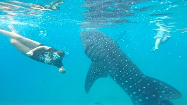 セブ島オスロブで泳ぐジンベイザメ