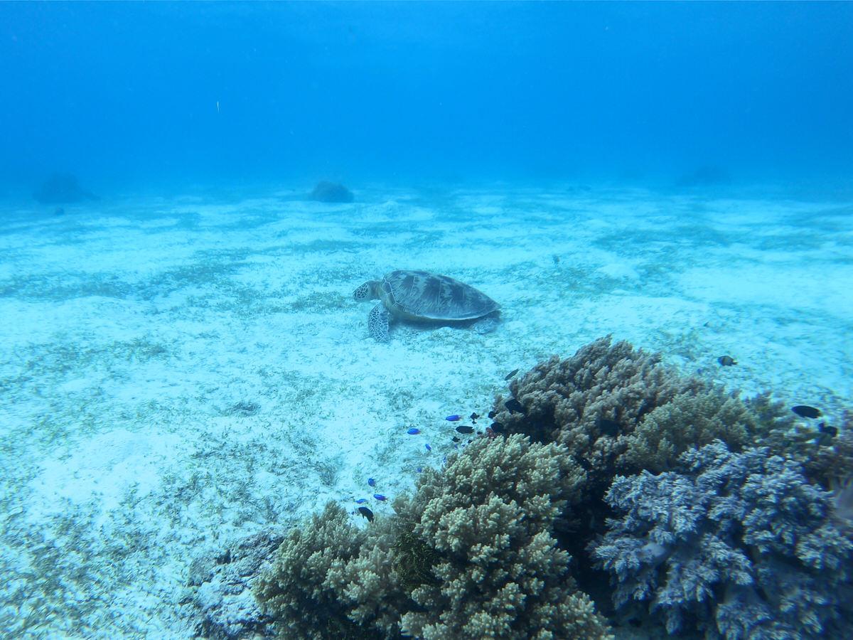 バリカサグ島でウミガメとシュノーケリング