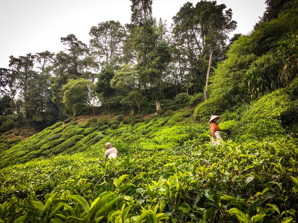 マレーシア・キャメロンハイランドの紅茶農園