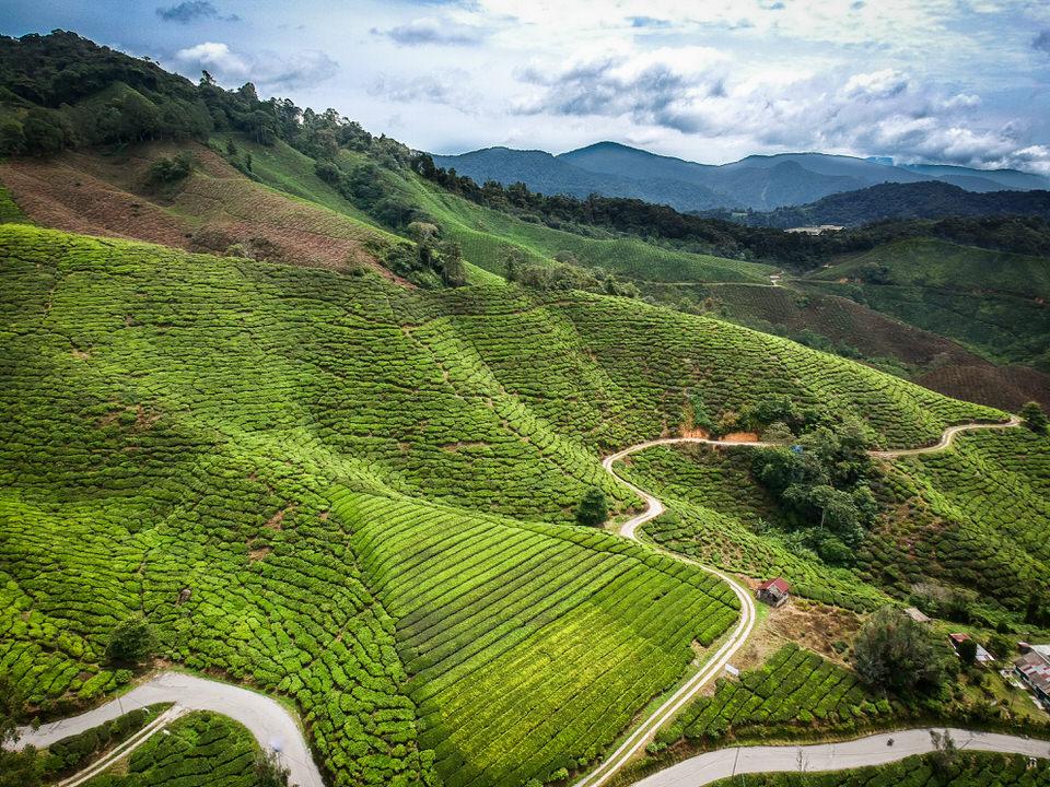 キャメロンハイランドの観光スポット紅茶ボーティーの茶畑